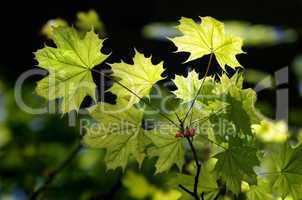 Sonnenstrahlen durchleuchten die Blätter des Ahorn Baumes