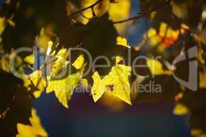 maple leaves in bright sunlight