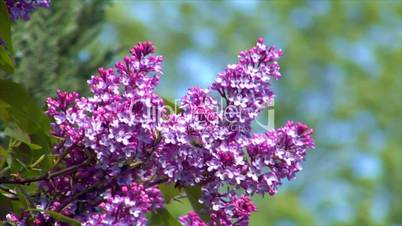 10689 pink lilac with bee