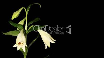 White lily on the black background (longiflorum. White Europe) timelapse