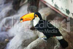 beautiful toucan in the aviary at the zoo