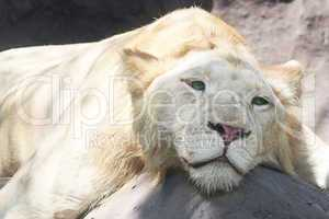 White lion resting in the shade at the zoo