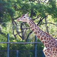 giraffe in an open cage at the zoo
