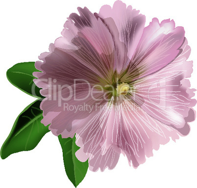 Pink mallow on white background