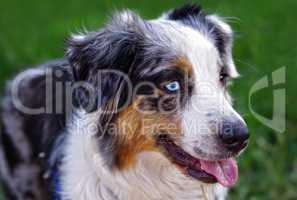 Hund Australian Shepherd blickt treu und aufmerksam