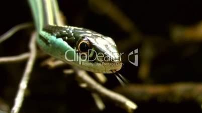 Östliche Bändernatter (Thamnophis sauritus)