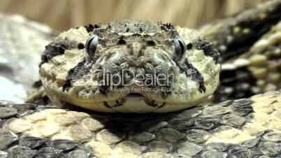 Puffotter (Bitis arietans)