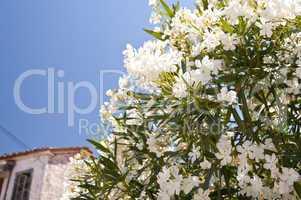 Oleander auf Samos