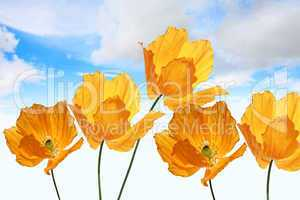 Bright, orange poppies on the sky background, summer