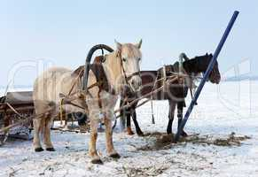 Two horses at the bank of a frozen river