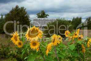 Rural scene with beautiful sunflowers