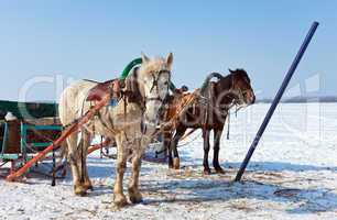 Two horses at the bank of a frozen river in Russia