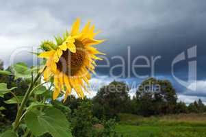 Yellow sunflowers on cloudy sky background