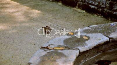 The bath of the sparrow. El aseo del gorrion