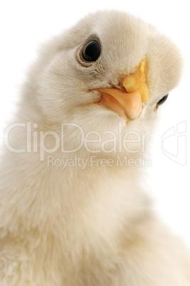 chicken close-up