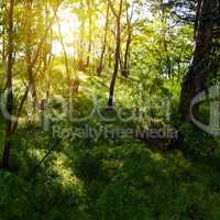 sun rays in the old forest