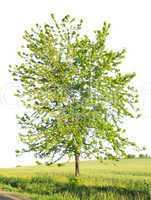 maple in the field