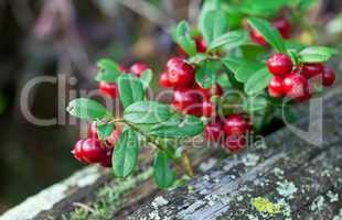 Lingonberry shrub with berries closeup