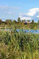 Reeds growing on the bank of lake