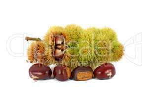 Chestnuts inside husk