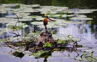 Haubentaucher auf dem See im Nest bei der Brut