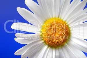 Chamomile on blue background. Close-up view