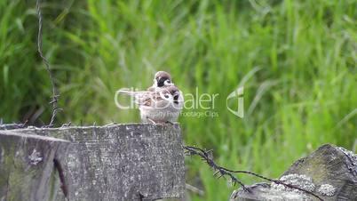House Sparrow - Passer domesticus - pairing