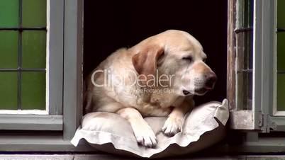 Hund liegt im Fenster