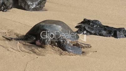 Schildkröten auf Hawaii