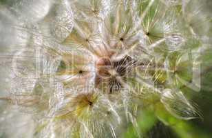Nahaufnahme einer Pusteblume mit Pollen