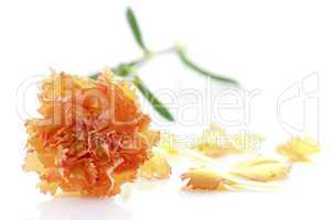 Carnation and petal