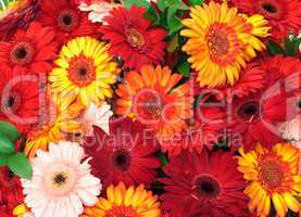 Vibrant Colorful Daisy Gerbera Flowers