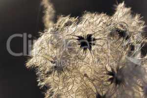 Weiche Pollen im Gegenlicht
