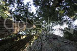 Tall pine tree seen from below
