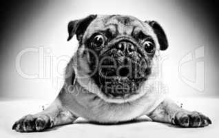 Black and white portrait of a pug