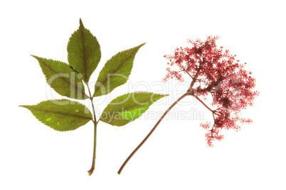Holunder rotblühend (Sambucus nigra)