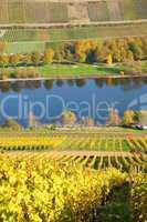 gelbe Weingärten an der Mosel