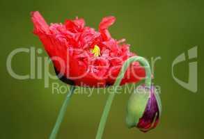 Doppelter Mohn mit Blüte und Knospe