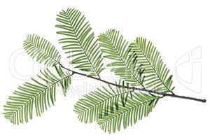 Mammutbaum (Metasequoia glyptostroboides)