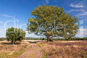 Lüneburger Heide, Heidelandschaft mit Eiche und Wacholder