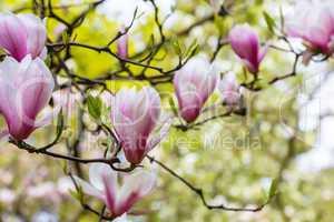 Die Magnolie blüht