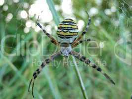 Wespenspinne mit Netz Nahaufnahme