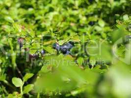 Waldheidelbeeren