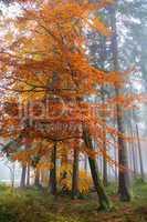 bunter Herbstwald im Nebel..