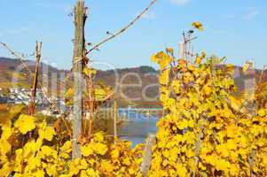 gelbe Weinreben an der Mittelmosel