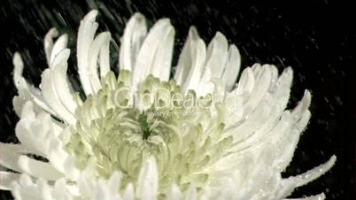 Water dripping in super slow motion on chrysanthemum