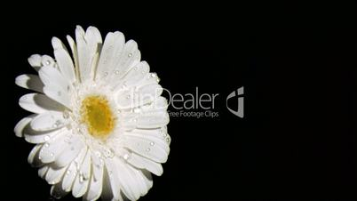 White flower in super slow motion under the dew