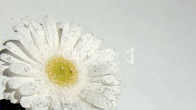 White flower in super slow motion receiving water drops