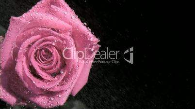Raindrops in super slow motion flowing on a rose