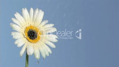White gerbera daisy in super slow motion being soaked